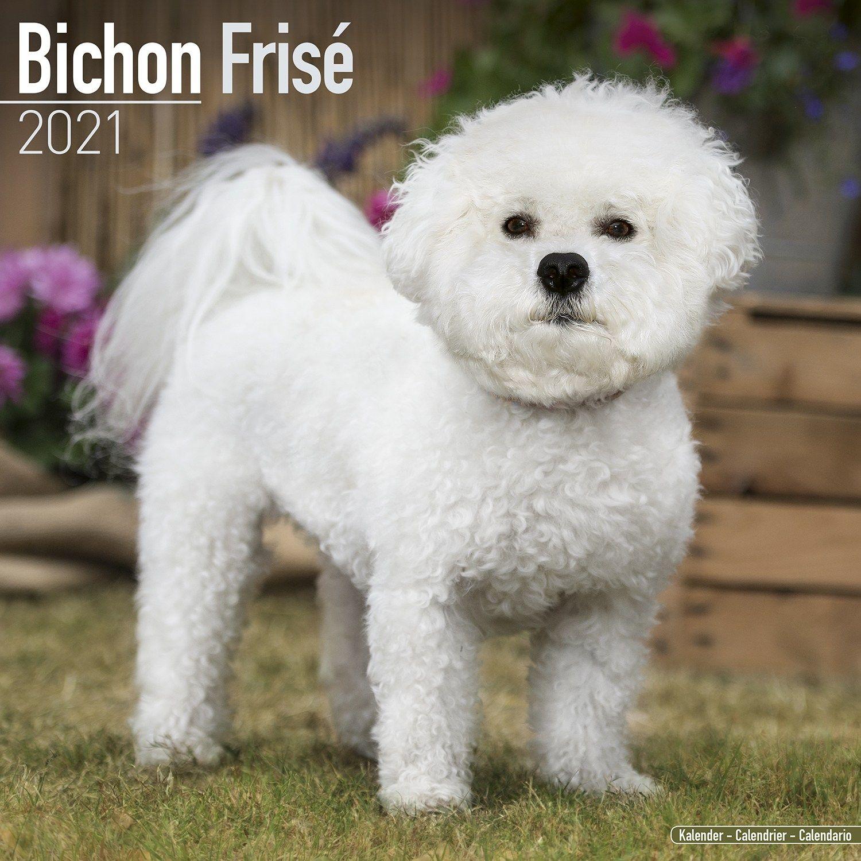 Bichon Frise Calendar 2021 Premium Dog Breed Calendars | eBay